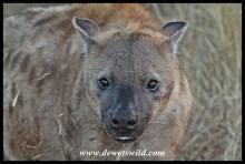 Hyena, H6