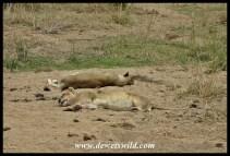 Sleepy lions on the H1-1