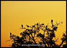Marabou roost near Skukuza