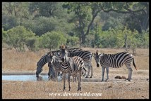 Zebra, Muzandzeni