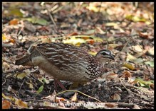Feathered friends visiting our cottage at Shingwedzi: Crested Francolin