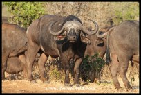 One of several large buffalo herds we encountered