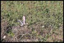 Yellow-billed Duck fleeing the area