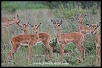 Impala lambs