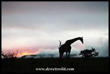 Giraffes on the horizon