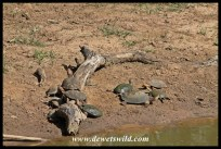 Marsh Terrapins basking in the sun