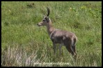 Reedbuck are extremely common around Lake Saint Lucia