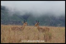 Reedbuck males squaring of