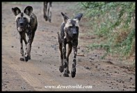 Wild Dog pack on the move