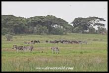 Mixed herd of wildebeest and zebra