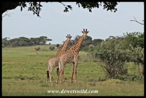 Curious giraffes at uBhejane