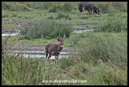 Bushbuck in the foreground, nyala in the background