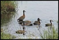 White-faced whistling ducks, Kwelamadoda Pan