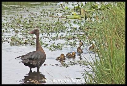 Spur-winged goose and goslings, Kwelamadoda Pan
