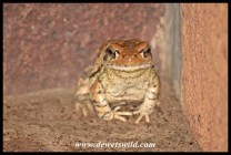 Toad at home outside our cottage