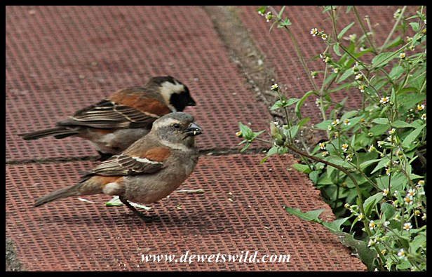 Cape sparrows