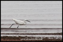 Little Egret on the hunt
