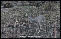 Grey rhebok lamb