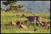 Mountain reedbuck ewe