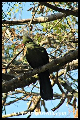 Livingstone's turaco