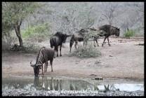 Blue wildebeest drinking at Ubhejane