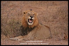 Lion greeting near Lubyelubye