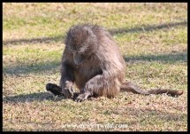 Baboon scratching for grass roots