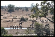 Wildebeest and zebra heading for the water