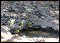 Yellow-fronted canaries and a blue waxbill