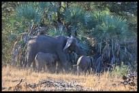 Suckling elephant calf