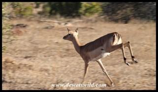 Impala on the run