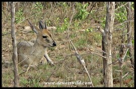 Common Duiker ram at rest