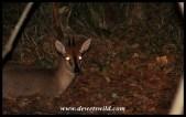 Common Duiker at night