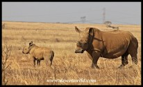 Baby white rhino and mom
