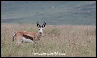 Springbok ram at Golden Gate Highlands National Park
