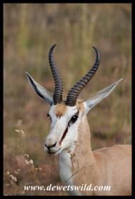 Springbok ram