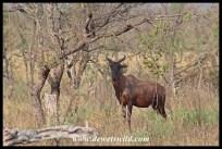 Tsessebe at Nshawu Marsh in Kruger National Park