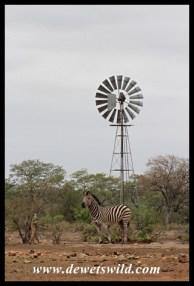Zebra at Ngwenyeni
