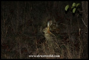 Scrub hare in Mopani