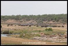 Big herd of elephant crossing the Letaba