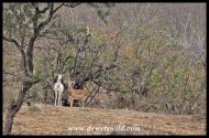 Albino impalas are rare