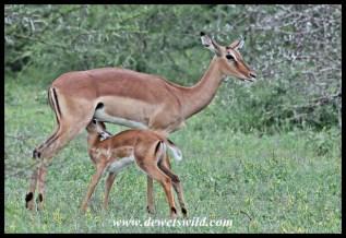 Impala lamb suckling