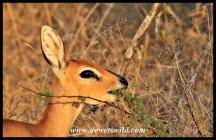 Steenbok feeding