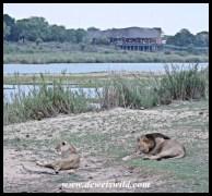 Lion love at Lower Sabie