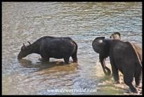 Waterhole rivalry (4)