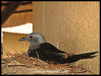 Female Red-winged Starling on her nest at our cottage