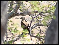 Wahlberg's Eagle hunting from a perch near our cottage