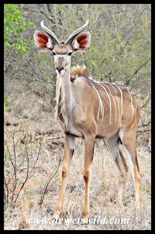 Young kudu bull