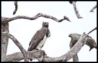 Martial Eagle surveying his landscape