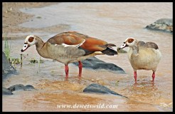Egyptian Geese at the Balule causeway